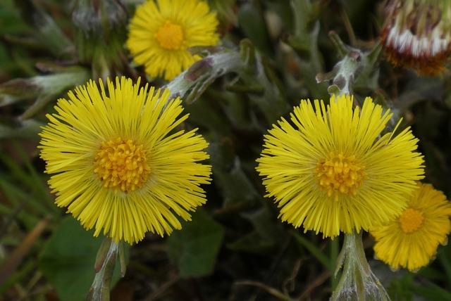 Coltsfoot, Berm, Spring, Blossom, Flowers, Bloom