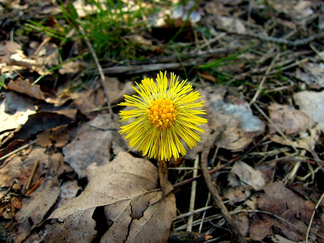 Coltsfoot, Flower, Yellow, Sign Of Spring