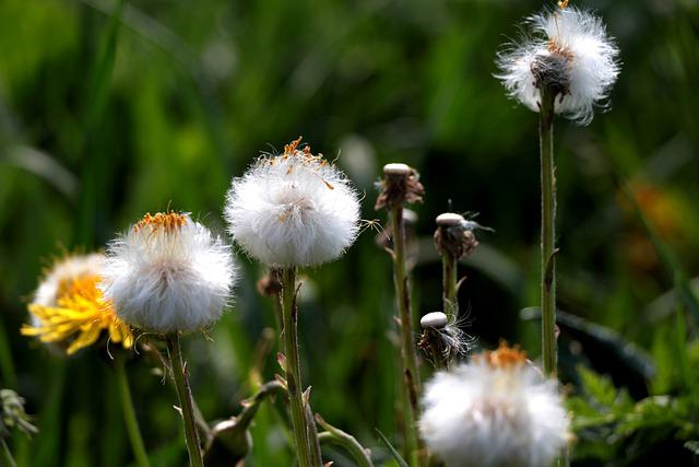 Coltsfoot, Lint, Overblown, Nature, Spring, Seeds
