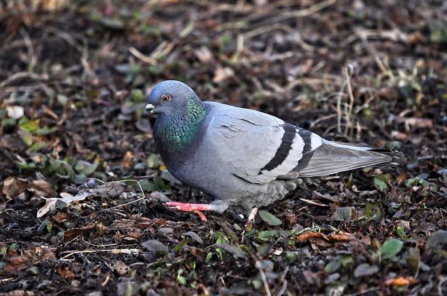 Pigeon, Dove, Rock Dove, Columba Livia, Bird, Animal