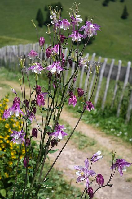 Columbine, Flower, Blossom, Bloom, White Pink