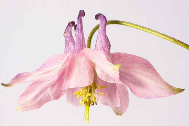 Columbine, Flower, Blossom, Bloom, Plant, Pink, Lilac