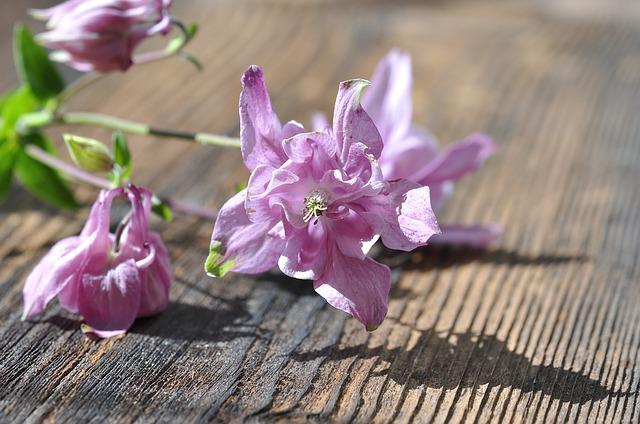 Columbine, Flower, Plant, Flowers, Pink, Pastel, Wood