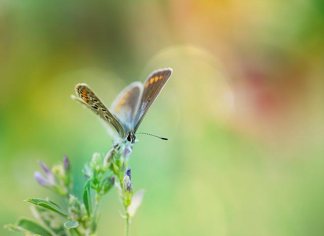 Common Blue, Butterfly, Common Bläuling, Butterflies