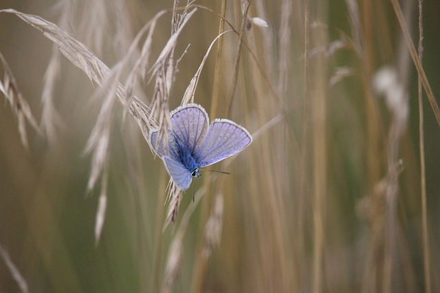 Butterfly, Common Blue, Cereals, Grass, Common Bläuling