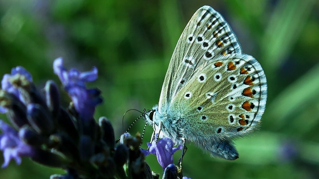 Butterfly, Common Blue, Butterflies, Lavender