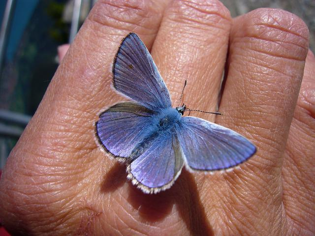 Butterfly, Common Blue