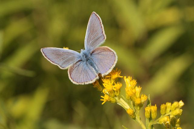 Common Blue, Butterfly, Insect, Golden Rod, Summer