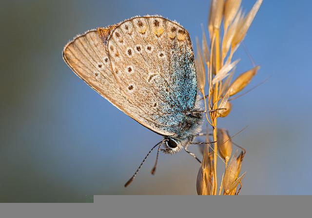 Common Blue, Polyommatus Icarus, Meadow, Flowerbed