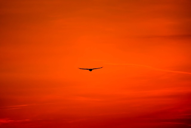 Buzzard, King Buzzard, Bird, Common Buzzard