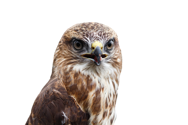Buzzard, Bird, Raptor, Bird Of Prey, Common Buzzard