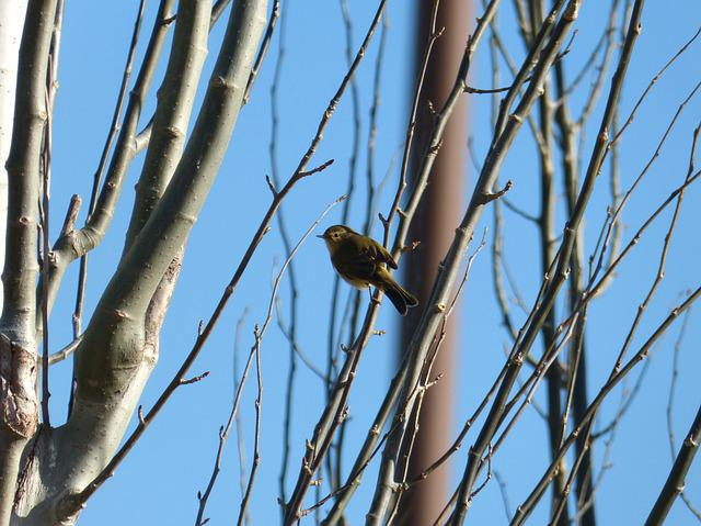 Bird, Ave, Phylloscopus Collybita, Common Chiffchaff