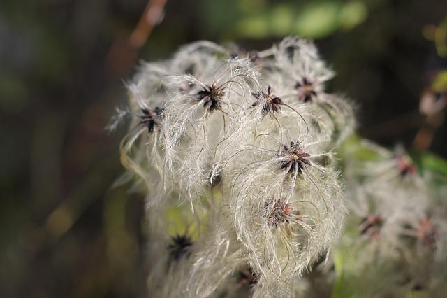 Common Clematis, Pods, Seeds, Woolly, Loft, Hairy