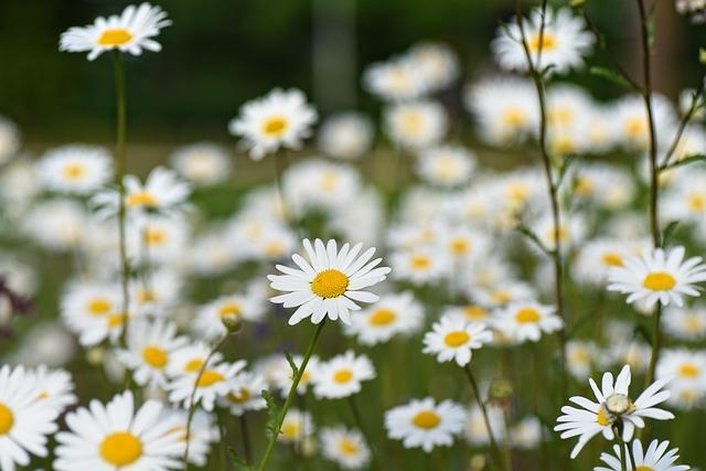 Ox-eye Daisy, Common Daisy, Daisy, Leucanthemum Vulgare