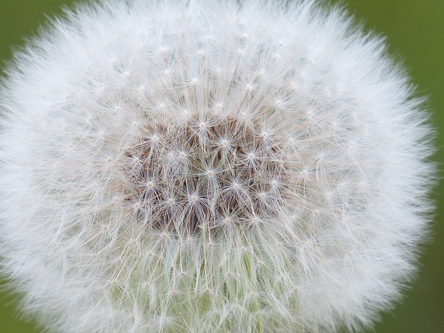 Dandelion, Seeds, Common Dandelion