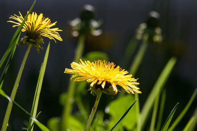 Common Dandelion, Dandelion, Flower, Bud, Taraxacum