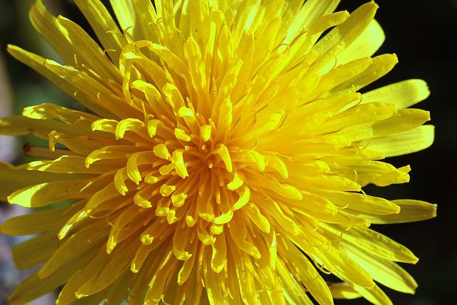 Dandelion, Common Dandelion, Taraxacum Sect, Ruderalia
