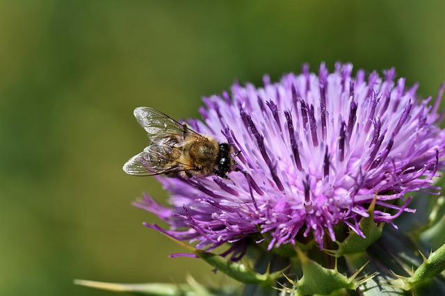 Thistle, Common Donkey Thistle, Cancer Thistle