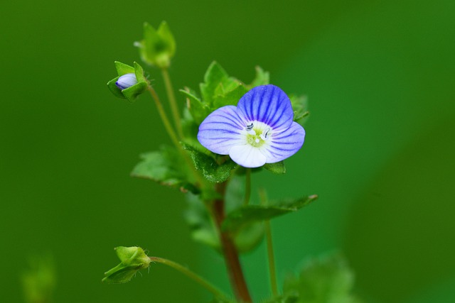 Speedwell, Common Field Speedwell, Blue