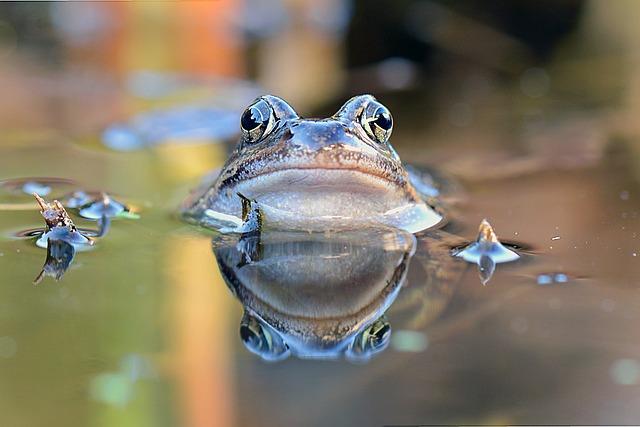 Common Frog, Frog, Portrait, Amphibians