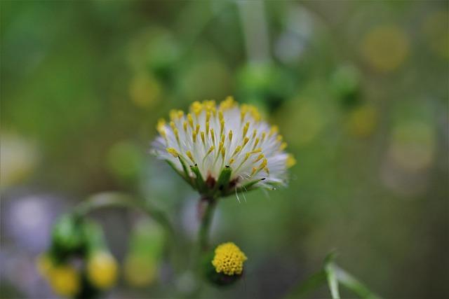 Common Groundsel, Old Herbs, Common Ragwort, Grimm Herb