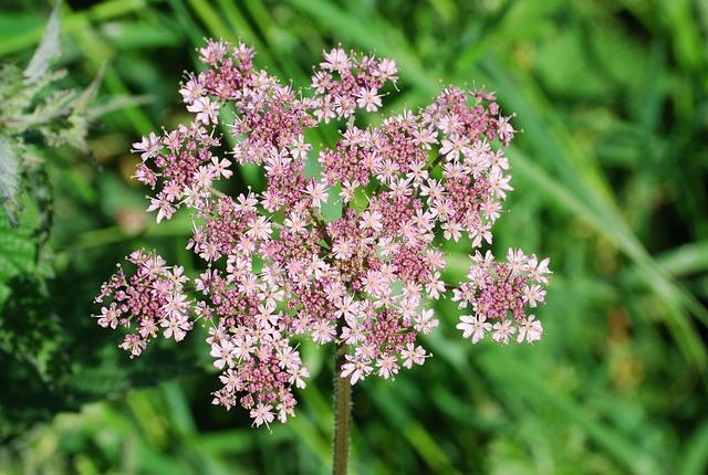 Common Hogweed, Hogweed, Blossom, Flower