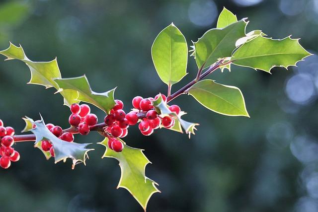 Llex Aquifolium, Common Holly, Christmas Holly