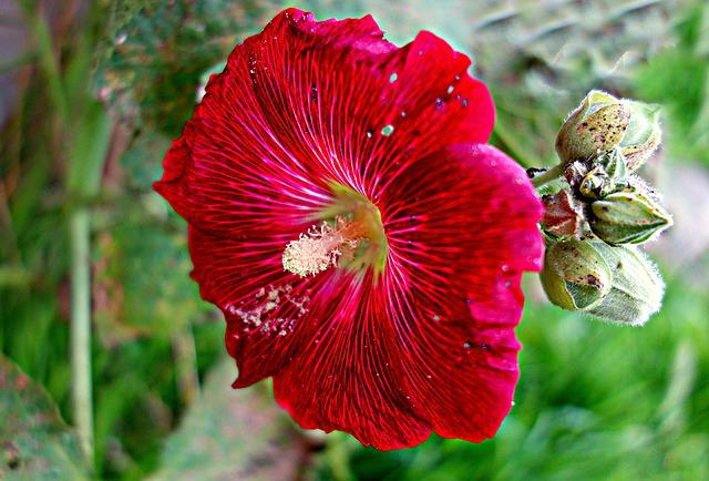 Hollyhock, Common Hollyhock, Flower, Plant, Bloom