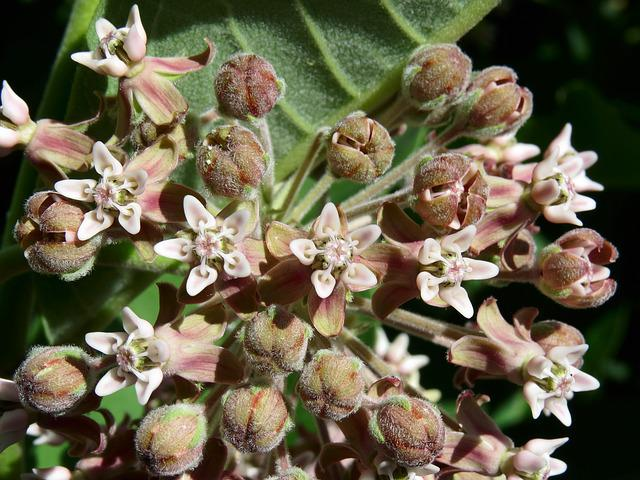 Asclepias Syriaca, Common Milkweed, Butterfly Flower