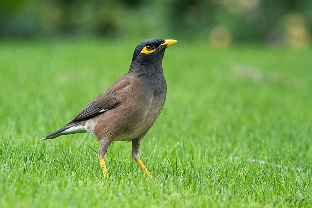 Common Myna, Acridotheres Tristis, Mynah, Indian Myna