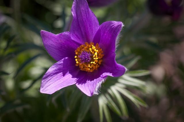 Pasque Flower, Common Pasque Flower, Flower, Spring