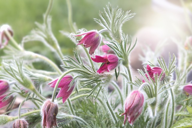 Pasqueflower, Common Pasque Flower, Spring