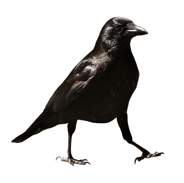 Common Raven, Raven, Raven Bird, Crow, Animal, Nature