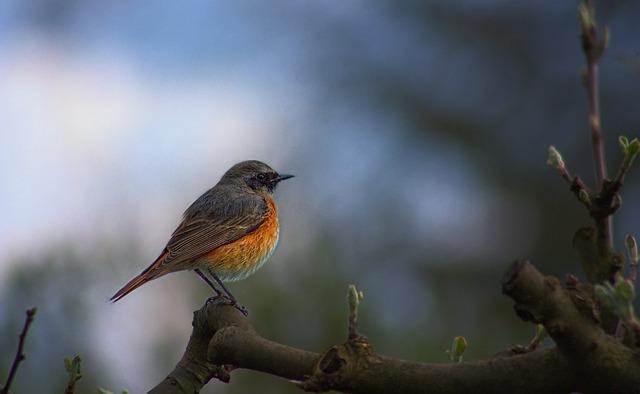 Common Redstart, Phoenicurus Phoenicurus, Bird, Garden