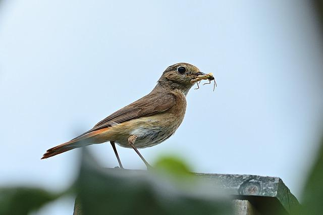Bird, Common Redstart, Female, Nature, Songbird