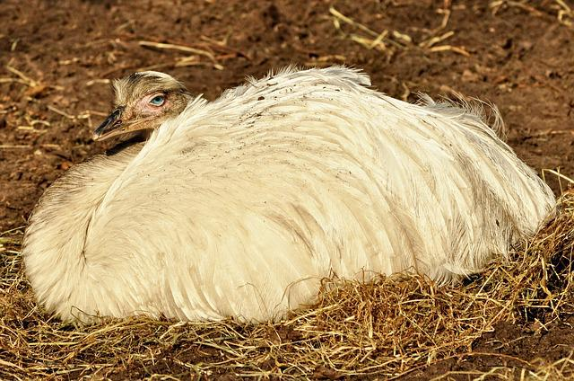 Greater Rhea, Common Rhea, Bird, Flightless, Endemic