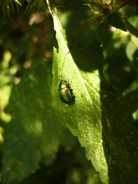 Beetle, Shiny Rose Gold Beetle, Common Rose Beetle