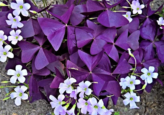 Plant, Sorrel, Common Sorrel Plant, Ornamental Plant