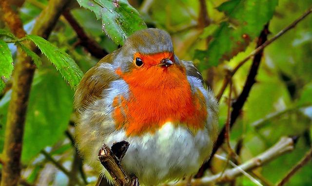 Redbreast, Common, Nature, Spevavý, Little Bird, Forest