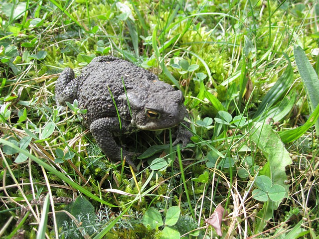 Animal, Common Toad, Toad, Female, Garden, Animal Lover
