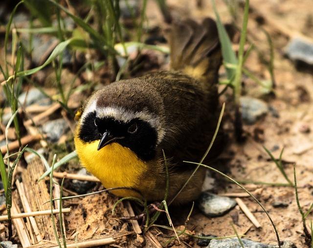 Common Yellowthroat Male, Songbird, Warbler