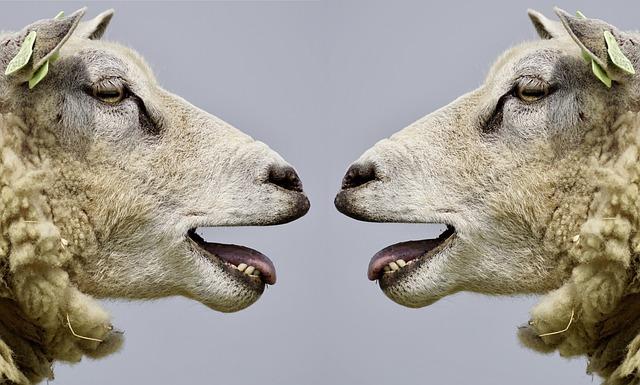 Sheep, Bleat, Communication, Communicate, Talk, Discuss