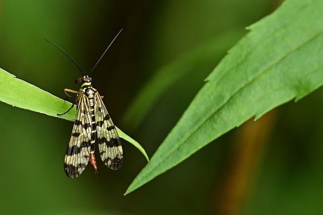 Insect, Communis, Female, Schnabelfliege, Wing