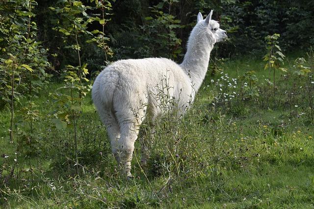 Alpaca, Camelids, Alpaca Color White, Companion