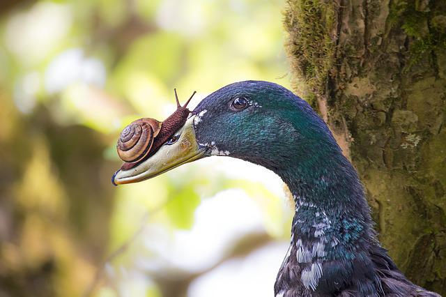 Duck, Snail, Edited, Composing, Feather, Mood