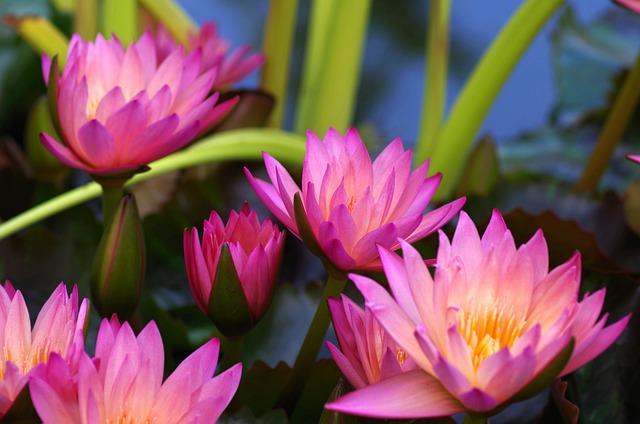 Water Lilies, Purple, Aquatic Plant, Pink, Composites
