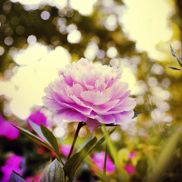 Marigold, Flower, Blossom, Bloom, Plant, Composites