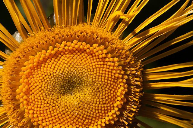 Inula, Flower, Yellow, Composites, Flower Basket