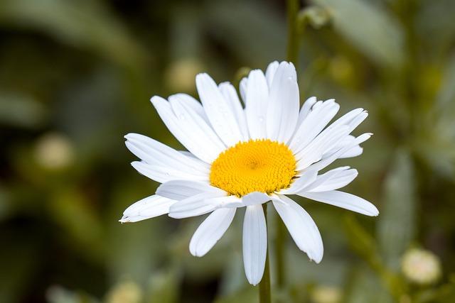 Marguerite, Leucanthemum, Composites, Flower