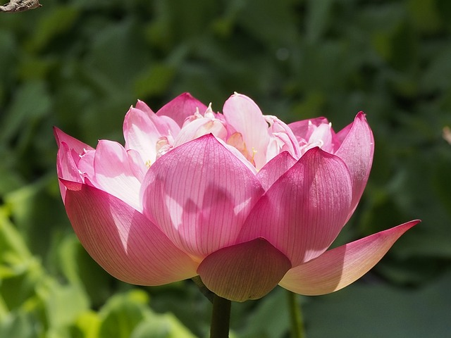 Lotus, Compound Flap, Pink, Bloom